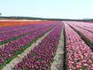 Culture-de-bulbes-de-tulipes_galleryfull